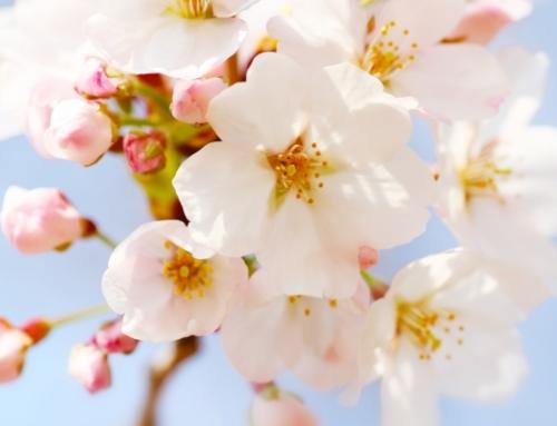 「おおたの梅と桜」を見に行こう ※終了しました。