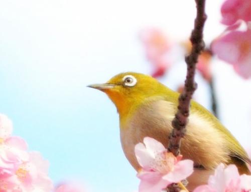 「おおたの梅と桜」を見に行こう