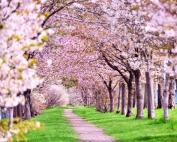 アイキャッチ-桜