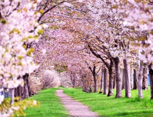 「おおたの梅と桜」を見に行こう2020 ※終了