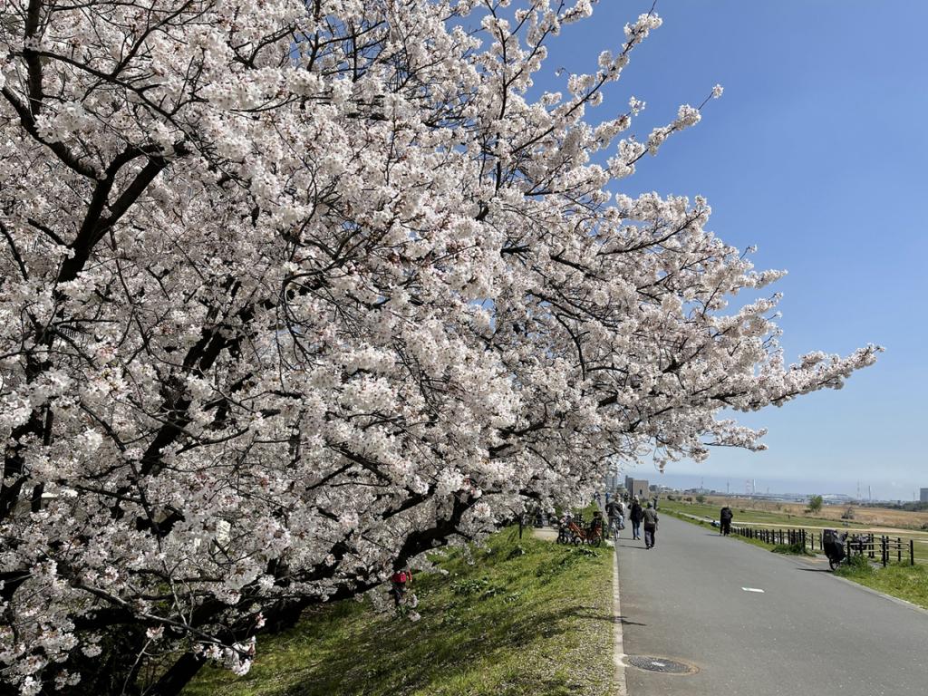 20210329六郷橋緑地堤防桜並木3